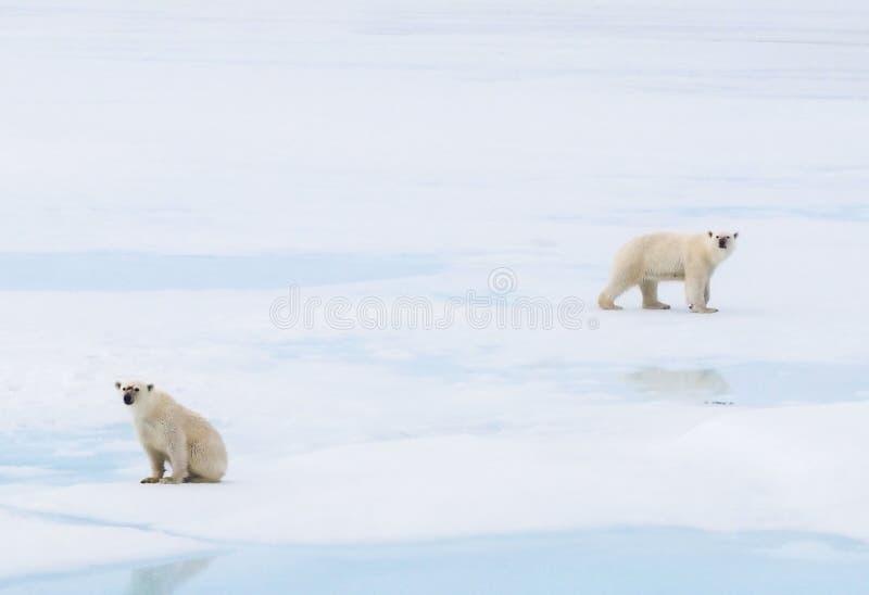 Dos osos polares que se sientan o que caminan en el hielo en el ártico fotografía de archivo