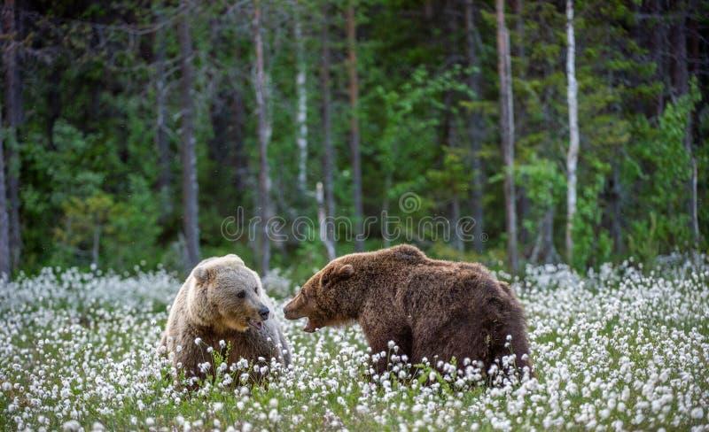Dos osos que luchan en bosque del verano, entre las flores blancas Nombre científico: Arctos del Ursus fotografía de archivo libre de regalías