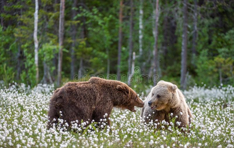 Dos osos que luchan en bosque del verano, entre las flores blancas Nombre científico: Arctos del Ursus imagen de archivo libre de regalías