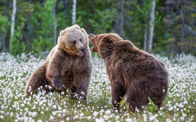 Dos osos que luchan en bosque del verano, entre las flores blancas Nombre científico: Arctos del Ursus imagenes de archivo