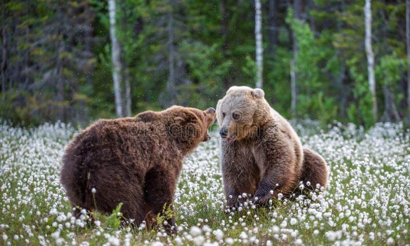 Dos osos que luchan en bosque del verano, entre las flores blancas Nombre científico: Arctos del Ursus foto de archivo