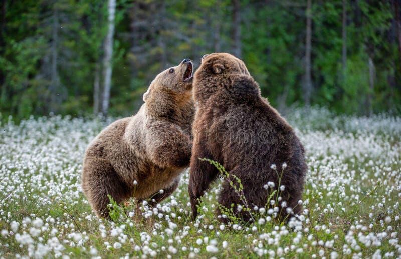 Dos osos que luchan en bosque del verano, entre las flores blancas Nombre científico: Arctos del Ursus imágenes de archivo libres de regalías