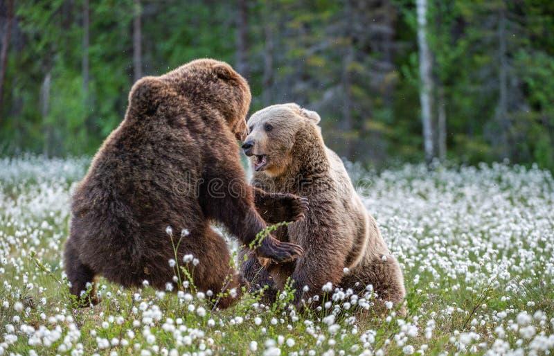 Dos osos que luchan en bosque del verano, entre las flores blancas Nombre científico: Arctos del Ursus fotos de archivo