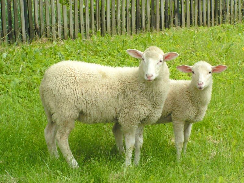 Dos ovejas imagen de archivo libre de regalías