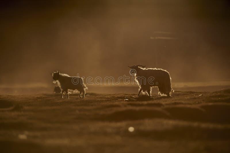 Dos ovejas imagenes de archivo
