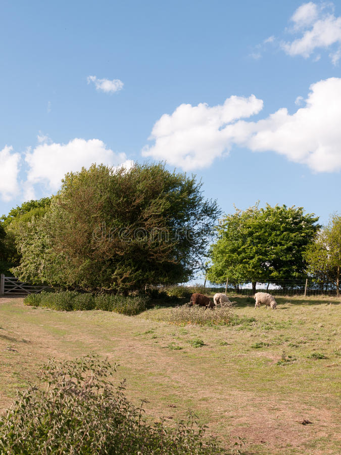 Dos ovejas blancas y una marrones en un ` s del verano colocan en el const de essex fotografía de archivo libre de regalías