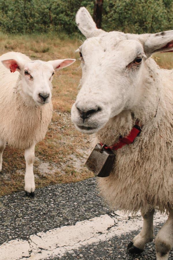 Dos ovejas con campanas en el camino imagenes de archivo