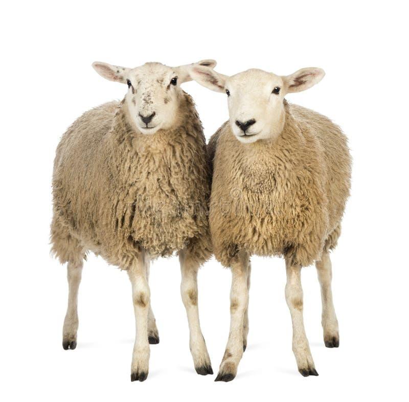 Dos ovejas contra el fondo blanco fotografía de archivo