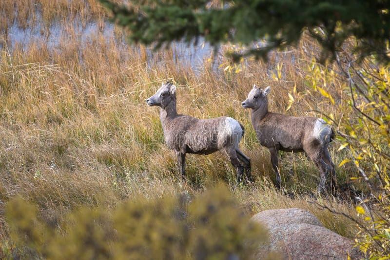 Dos ovejas de carnero con grandes cuernos fotografía de archivo