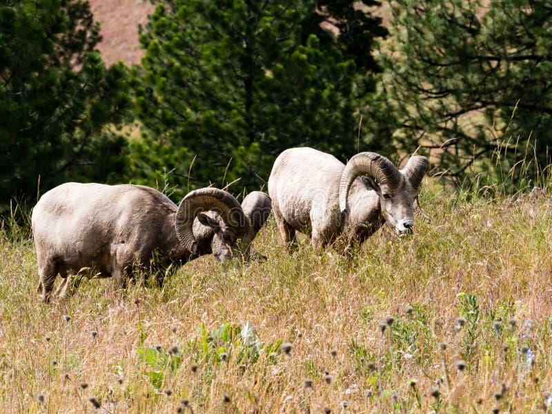 Dos ovejas de carnero con grandes cuernos americanas que pastan en un prado fotografía de archivo libre de regalías