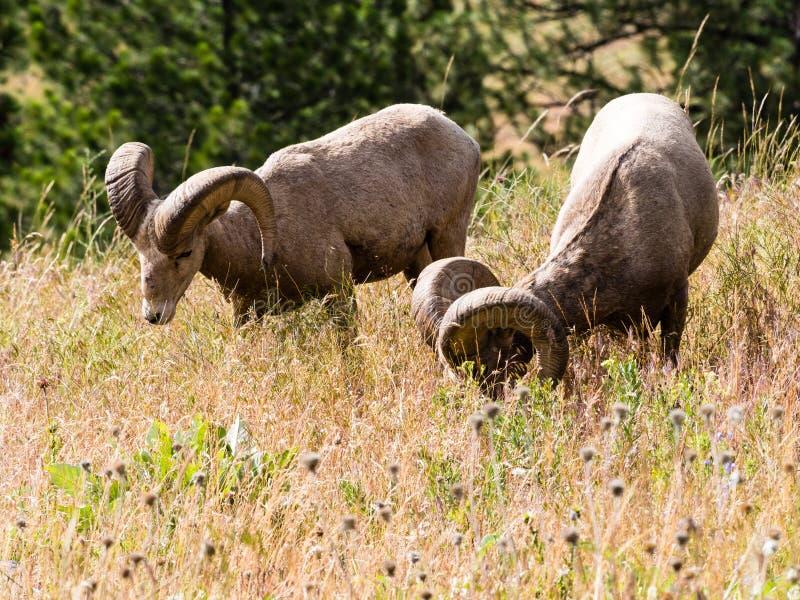 Dos ovejas de carnero con grandes cuernos americanas que pastan en un prado imagen de archivo libre de regalías
