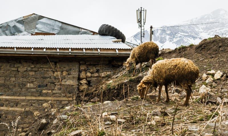 Dos ovejas en el acuerdo Khinalig, Azerbaijan de la montaña fotografía de archivo libre de regalías