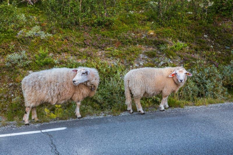 Dos ovejas en el camino en montañas de Escandinavia fotos de archivo