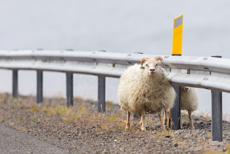 Dos ovejas islandesas fotos de archivo libres de regalías