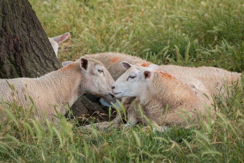 Dos ovejas que pastan foto de archivo libre de regalías