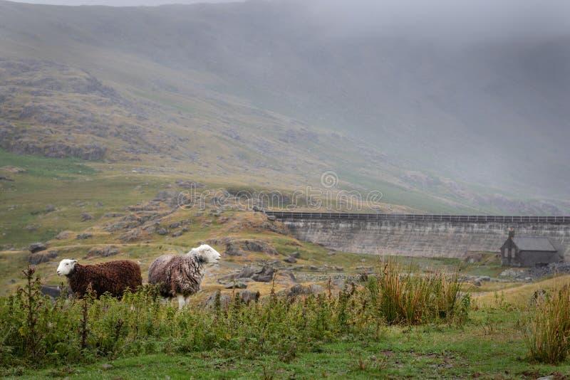 Dos ovejas que pastan libremente en campo inglés en día cubierto fotos de archivo libres de regalías