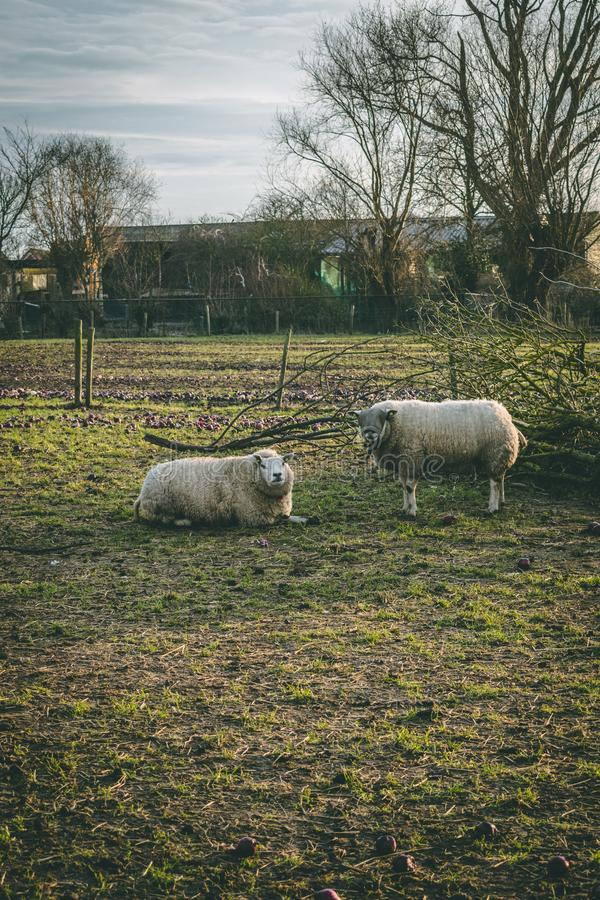 Dos ovejas que ponen en la hierba durante el invierno imagen de archivo libre de regalías