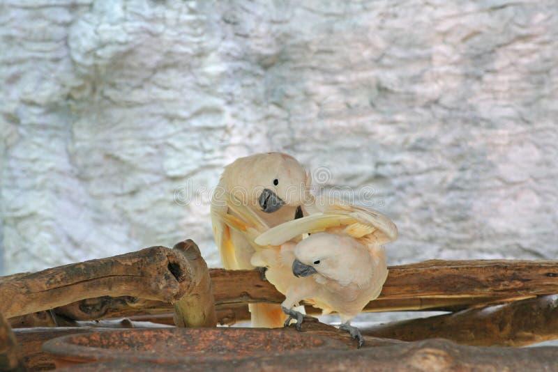 Dos pájaros blancos que juegan, cacatúa con cresta de color salmón, moluccensis del Cacatua fotografía de archivo libre de regalías