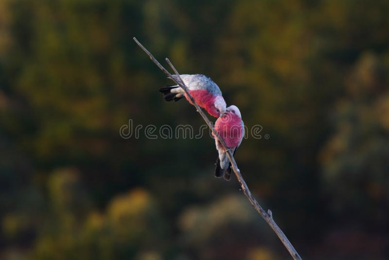 Dos pájaros de Galah se juntan en una rama de árbol imágenes de archivo libres de regalías
