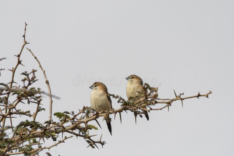 Dos pájaros de plata indios de la cuenta que se encaraman en la ramita espinosa que mira de lado con el fondo blanco imagen de archivo
