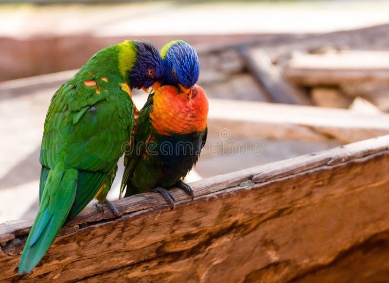 Dos pájaros del amor imagen de archivo
