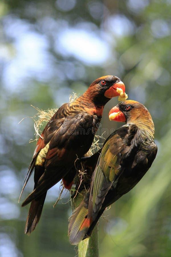 Dos pájaros Lory Share Food oscura fotografía de archivo libre de regalías
