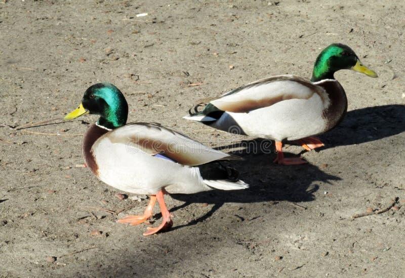 Dos pájaros masculinos del pato fotografía de archivo