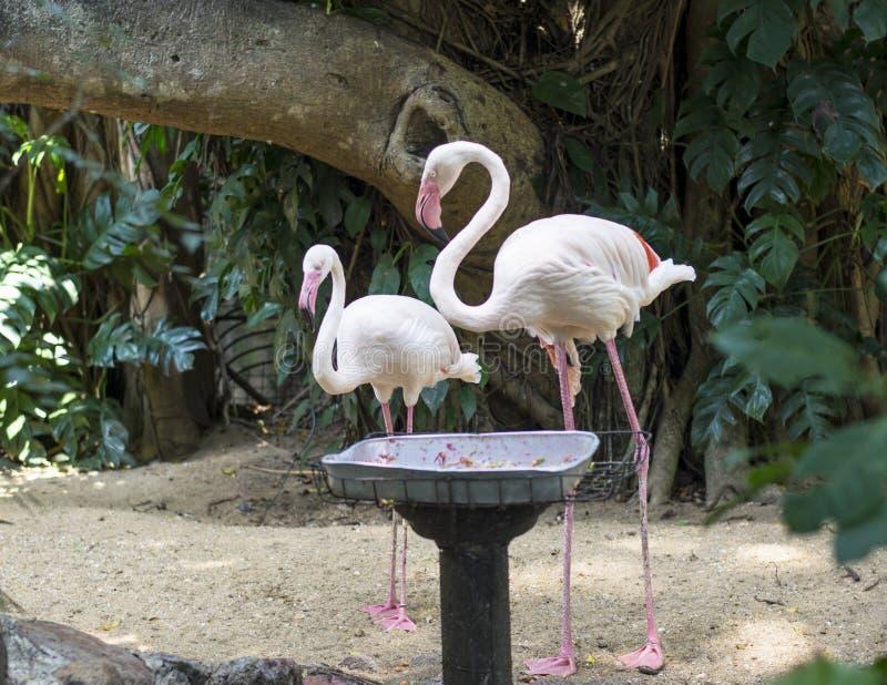 Dos pájaros rosados hermosos del flamenco imagen de archivo