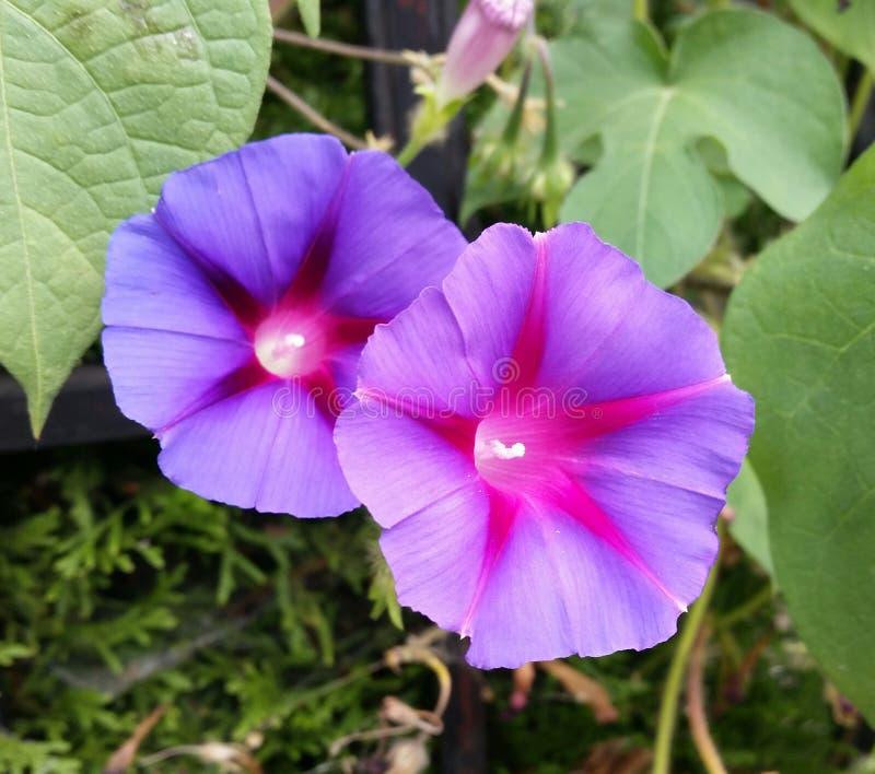 Dos púrpuras y flores rosadas del Nightshade rodeadas por las hojas y el follaje del verde esmeralda imagen de archivo