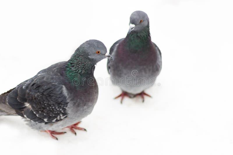 Dos palomas foto de archivo libre de regalías