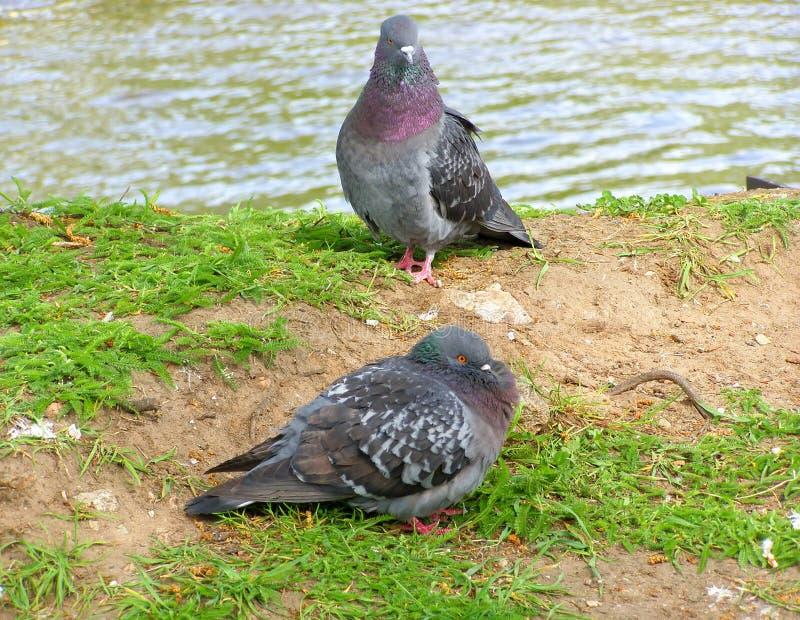 Dos palomas en la hierba foto de archivo libre de regalías