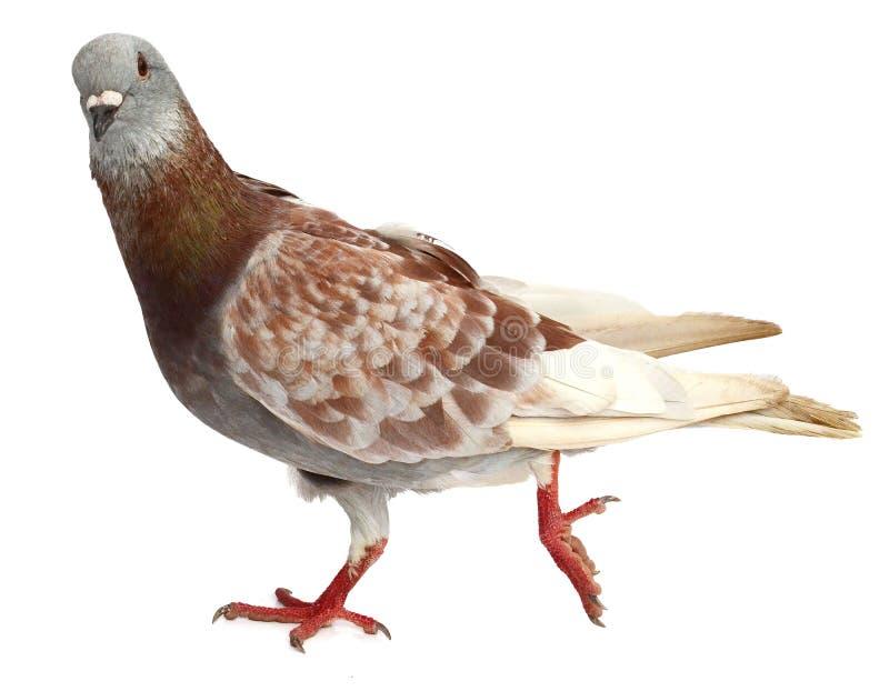 Dos palomas imagen de archivo