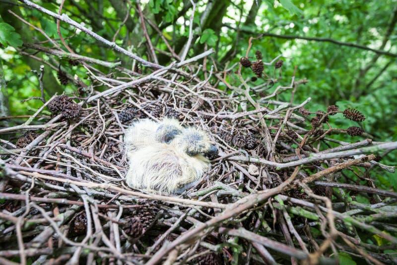 Dos palomas recién nacidas fotos de archivo libres de regalías
