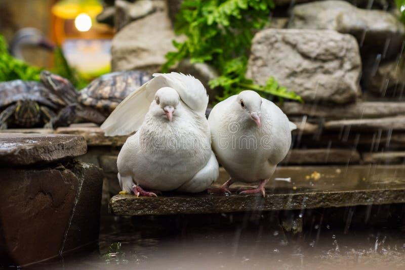 Dos palomas se están sentando por la charca-fuente con una tortuga del resbalador de la charca en el parque zoológico fotos de archivo