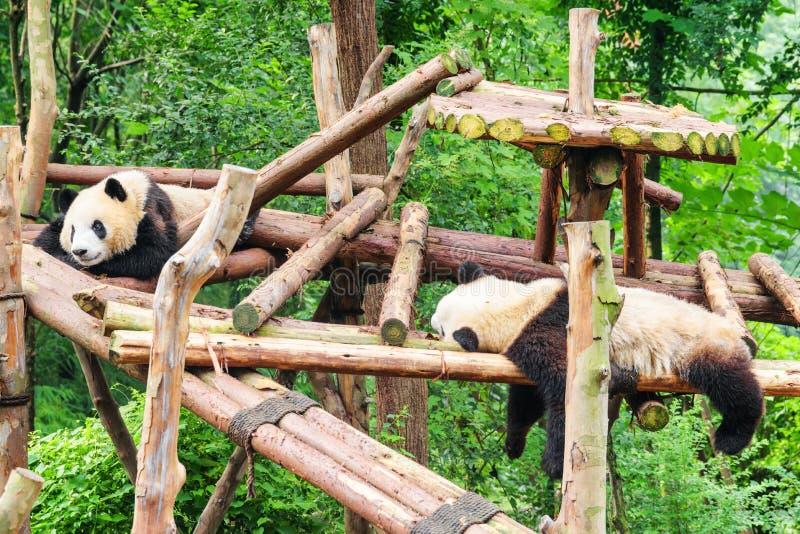 Dos pandas gigantes jovenes divertidas que descansan en bosque verde imagen de archivo libre de regalías
