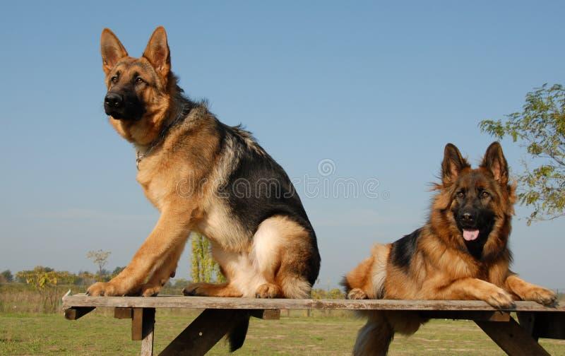 Dos pastores alemanes foto de archivo