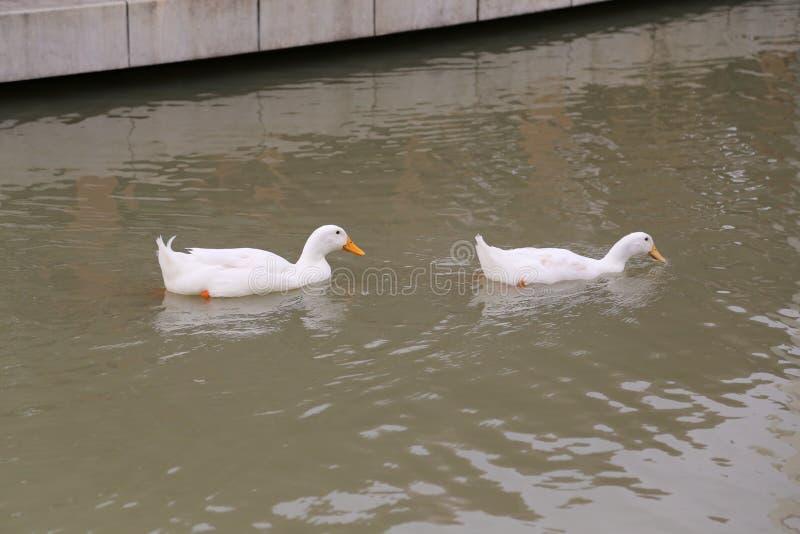 Dos patos imagenes de archivo