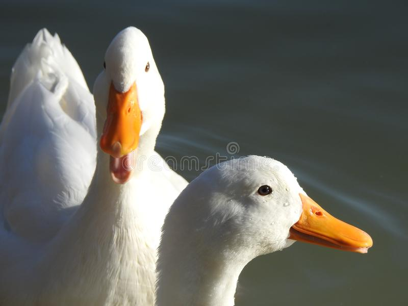 Dos patos blancos fotos de archivo