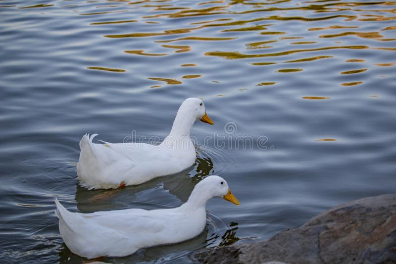 Dos patos blancos foto de archivo