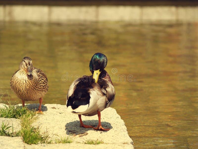 Dos patos cerca del agua imagenes de archivo