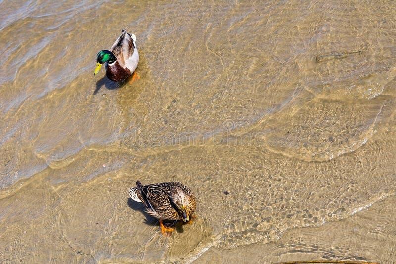 Dos patos en el agua fotos de archivo libres de regalías