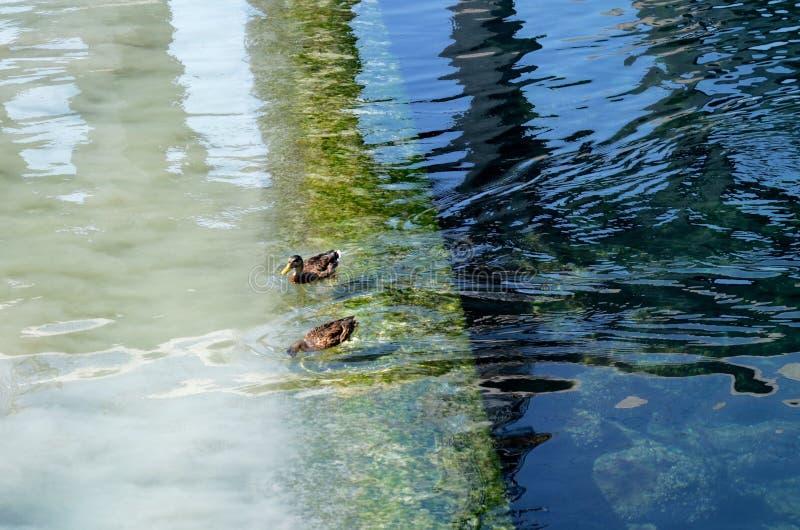 Dos patos en el empalme de las aguas de los ríos Rhone y Arve fotografía de archivo