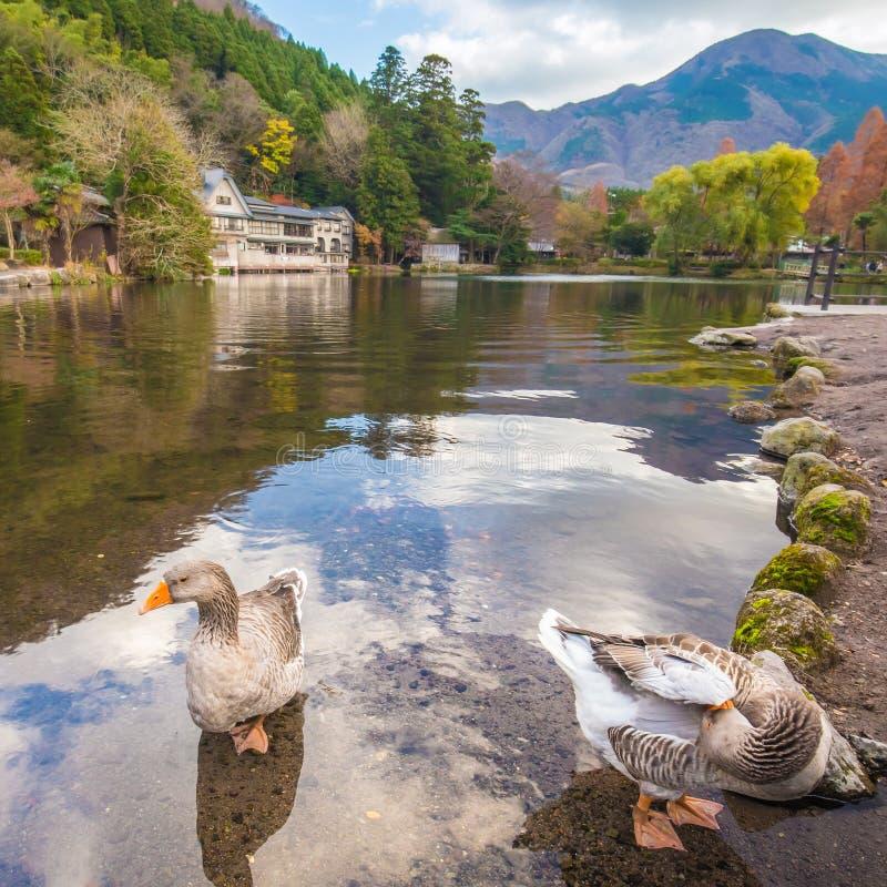 Dos patos en el lago Kinrinko en la ciudad Oita, Japón de Yufuin imágenes de archivo libres de regalías