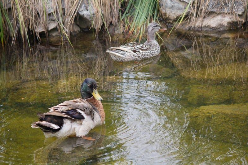 Dos patos est?n nadando en la charca imagen de archivo