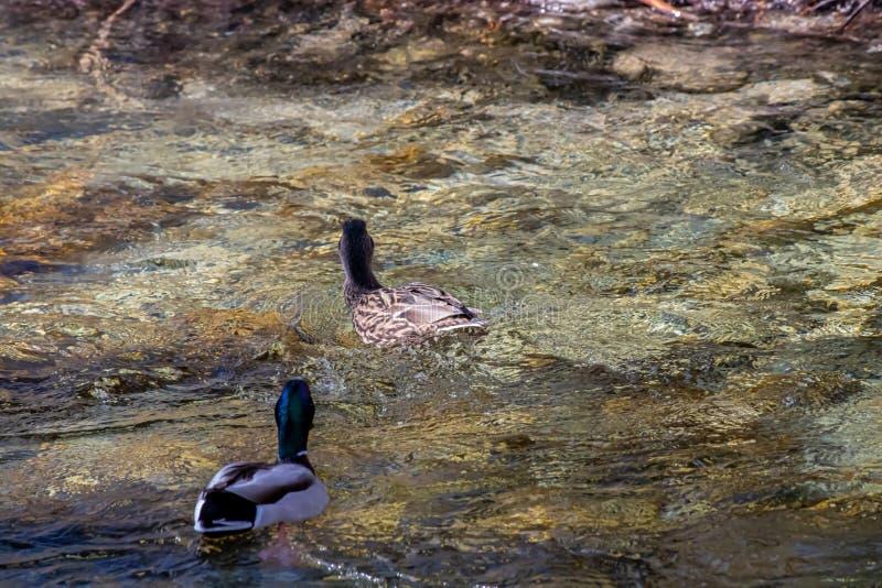 Dos patos mallard en el río fotos de archivo