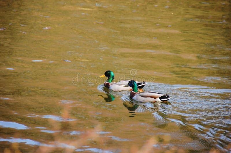 Dos patos que nadan fotografía de archivo libre de regalías