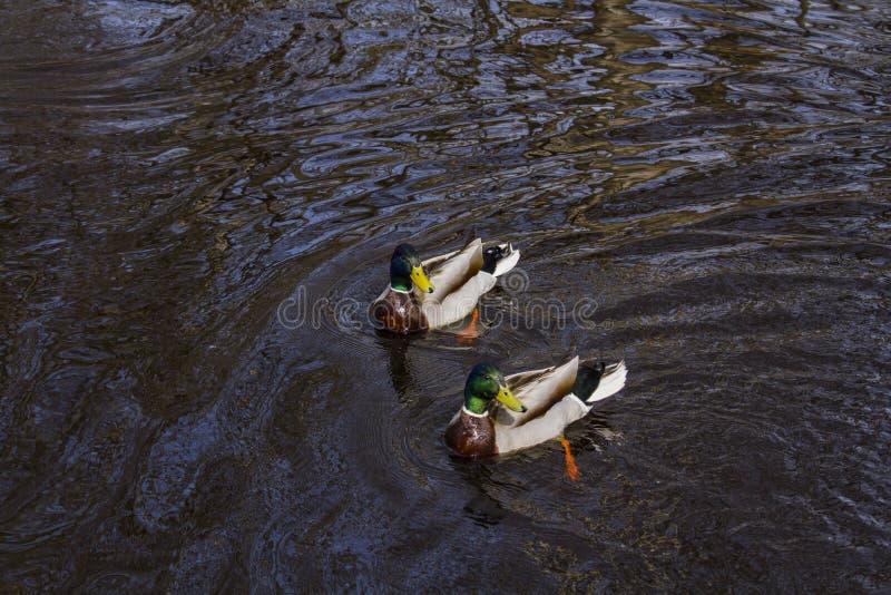 Dos patos que nadan en un r?o imagenes de archivo