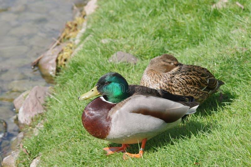 Dos patos salvajes imagenes de archivo