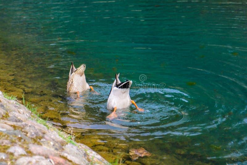 Dos patos se zambullen en el agua en busca de la comida imagen de archivo libre de regalías