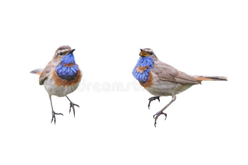 Dos pechiazules de los pájaros en diversas actitudes aislados imágenes de archivo libres de regalías